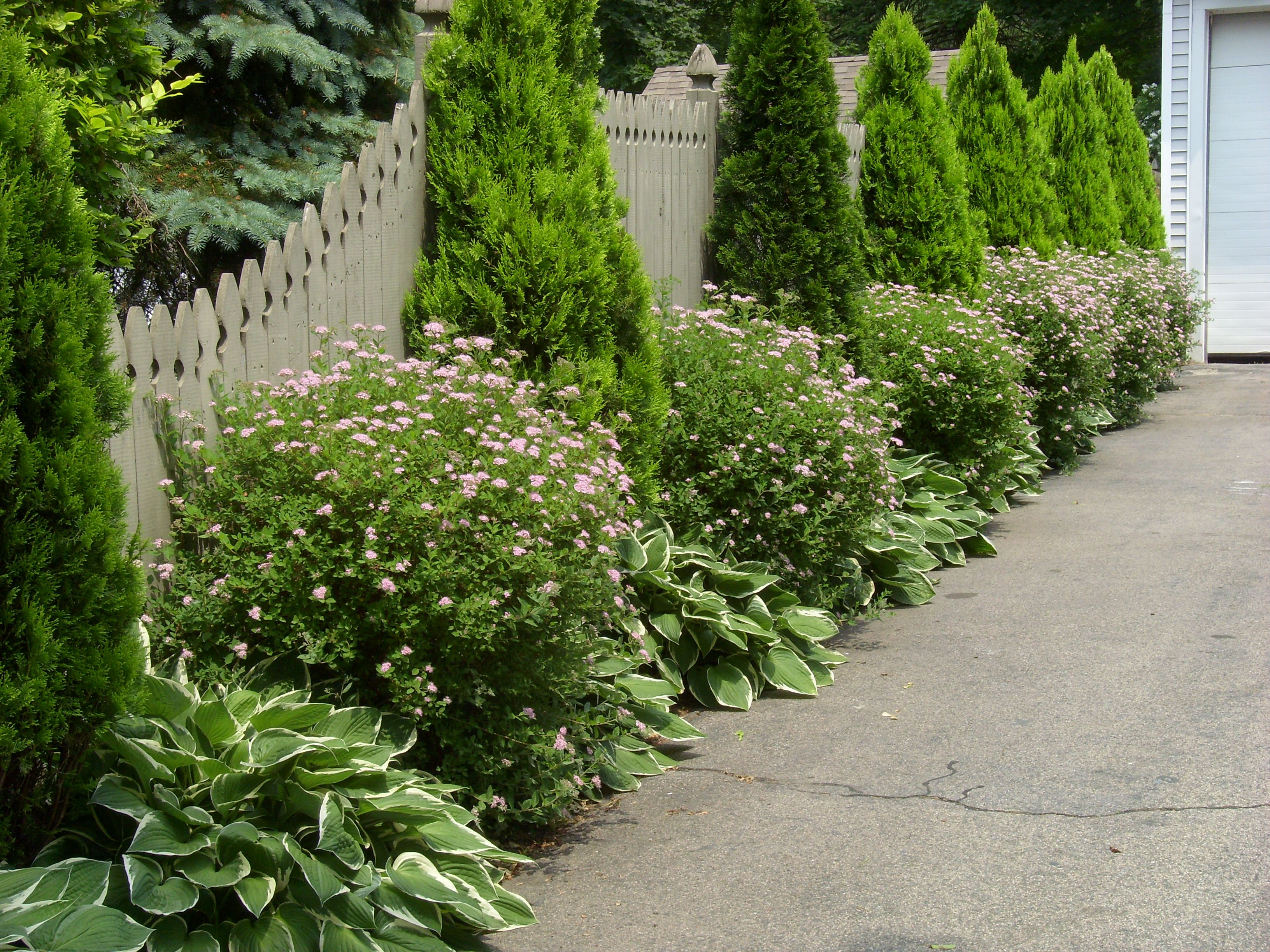 Hostas And Evergreens Lining The Driveway Fence Driveway