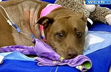 Hero pit bull saves owner from train tracks