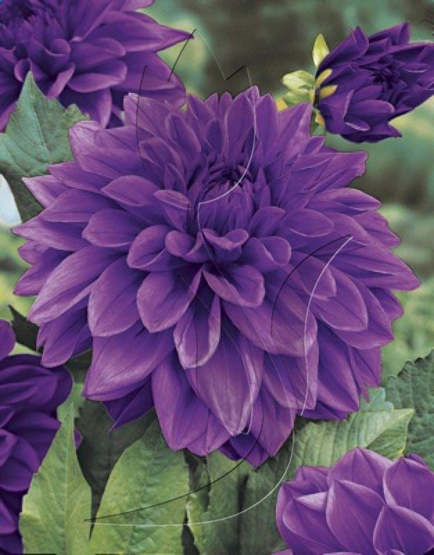 The Basics Of Growing Dahlias Dahlia Flower Beautiful Flowers Purple Flowers