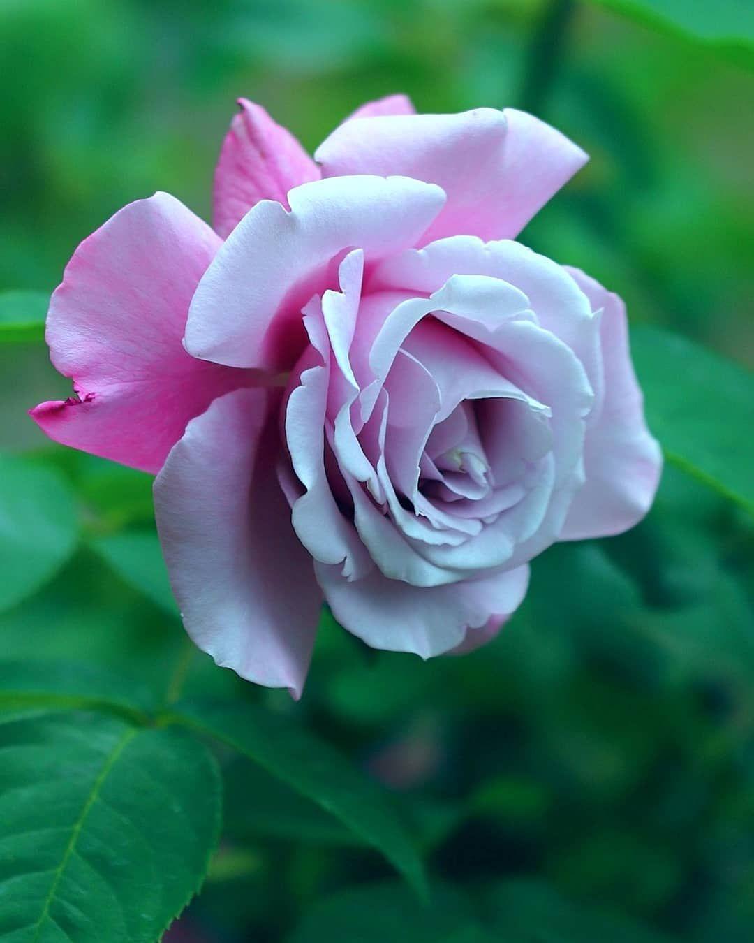 "Polubienia: 173, komentarze: 3 – meiko🦋風花🦋 (@meiko_fuuka) na Instagramie: "". #flowerpassion_world #flowers_collectio  #loves_united_flora #flower_igers #mta_flowers…"""
