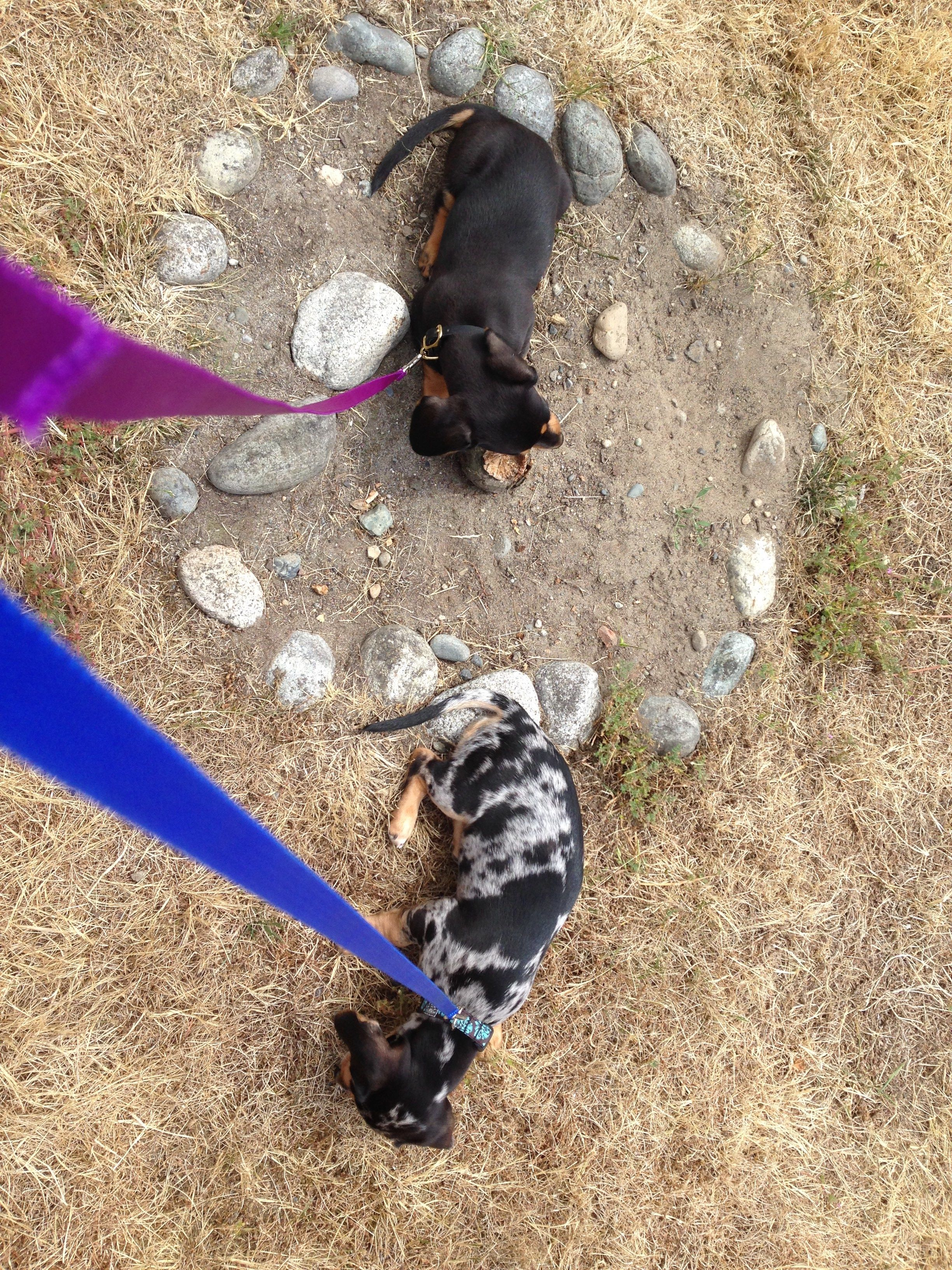 Maisie and Agnes on their inaugural collars and leashes walk.  Note:  they are both sitting down and not walking.  We are still working on this, three weeks on!