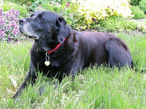 Nowofundland Wodołaz Pochodzą Z Kanady Są To Duże Psy Bardzo