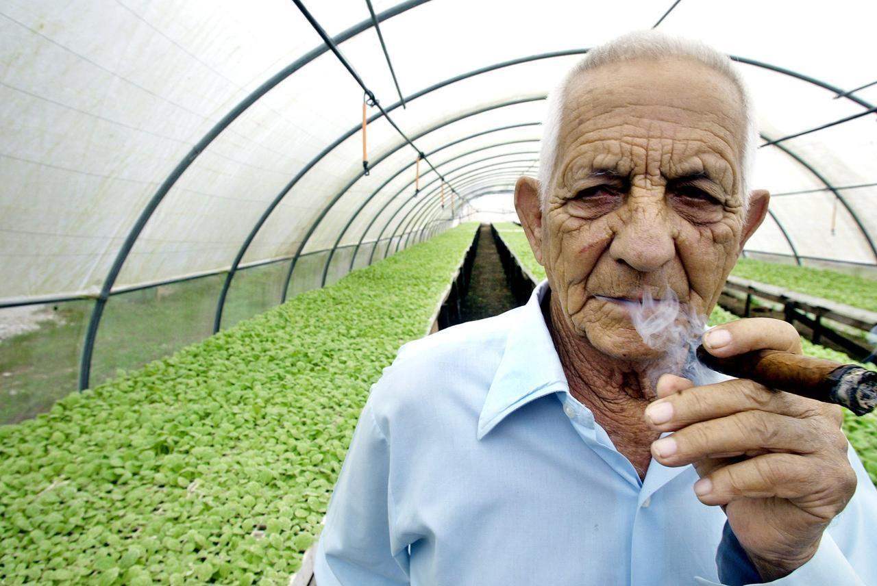Veguero recogiendo cosecha de tabaco de hoja