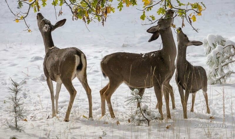Mule deer eating leaves off tree.......Yosemiti prk