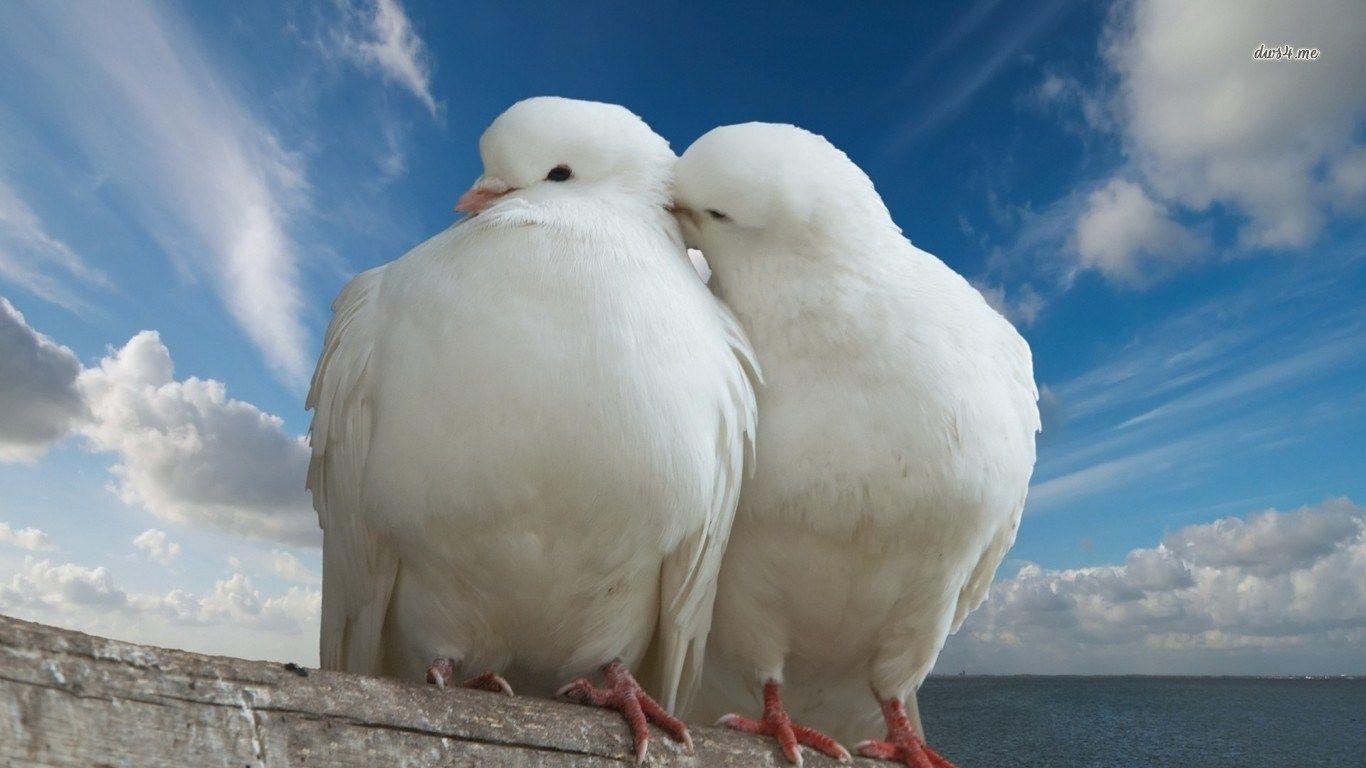 Free Computer Wallpaper For Dove Animal Wallpaper Bird Wallpaper Bird