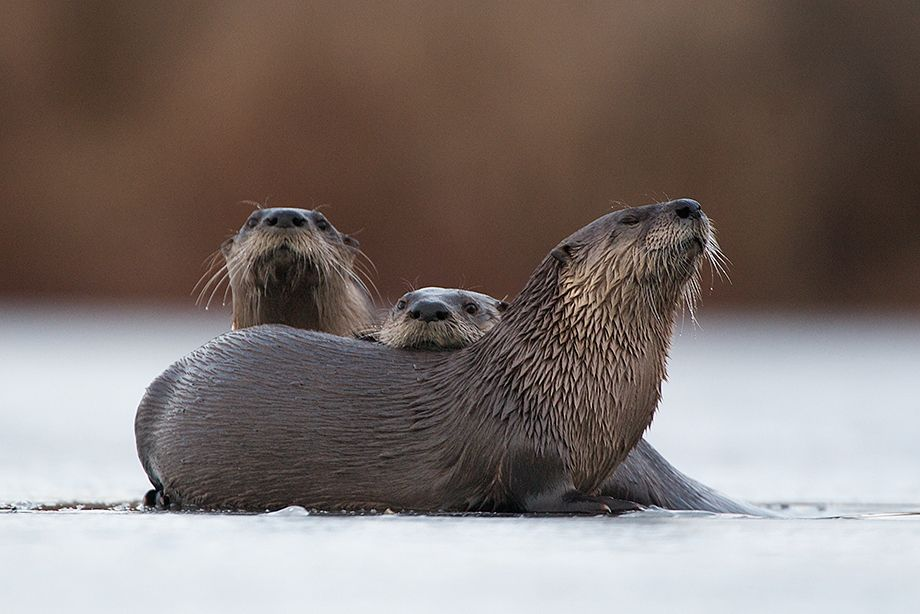 Three River Otters on Ice in MUSCATATUCK NATIONAL WILDLIFE REFUGE, INDIANA  photo by Sean Crane