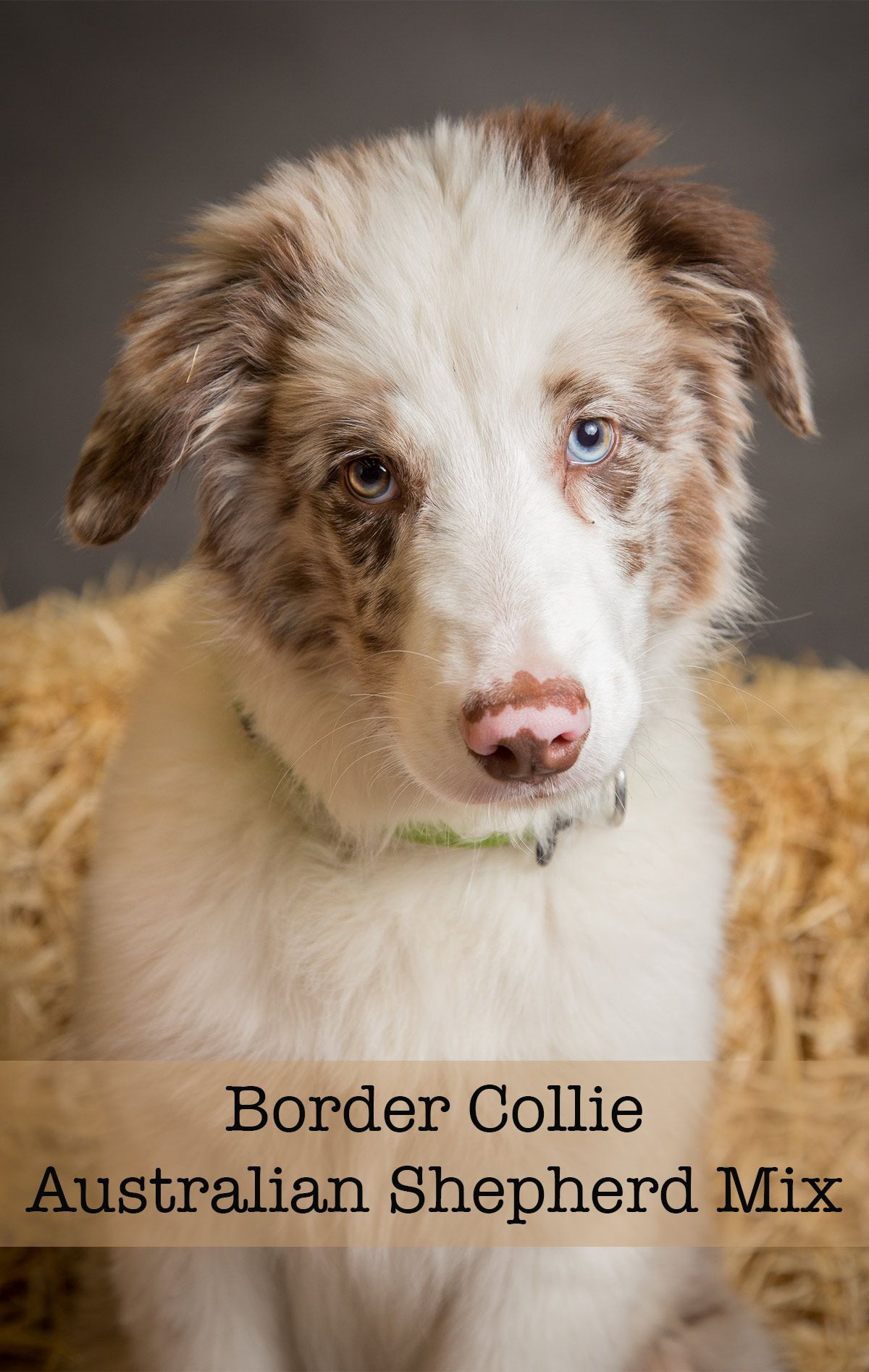 Border Collie Australian Shepherd Mix Will This Be Your New