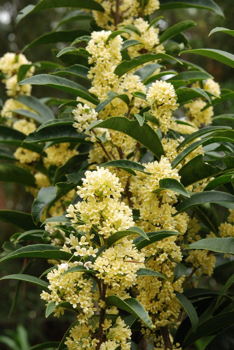 Osmanthus Fragrans Fodingzhu In 2020 Osmanthus Fragrans Plants Fragrant Plant