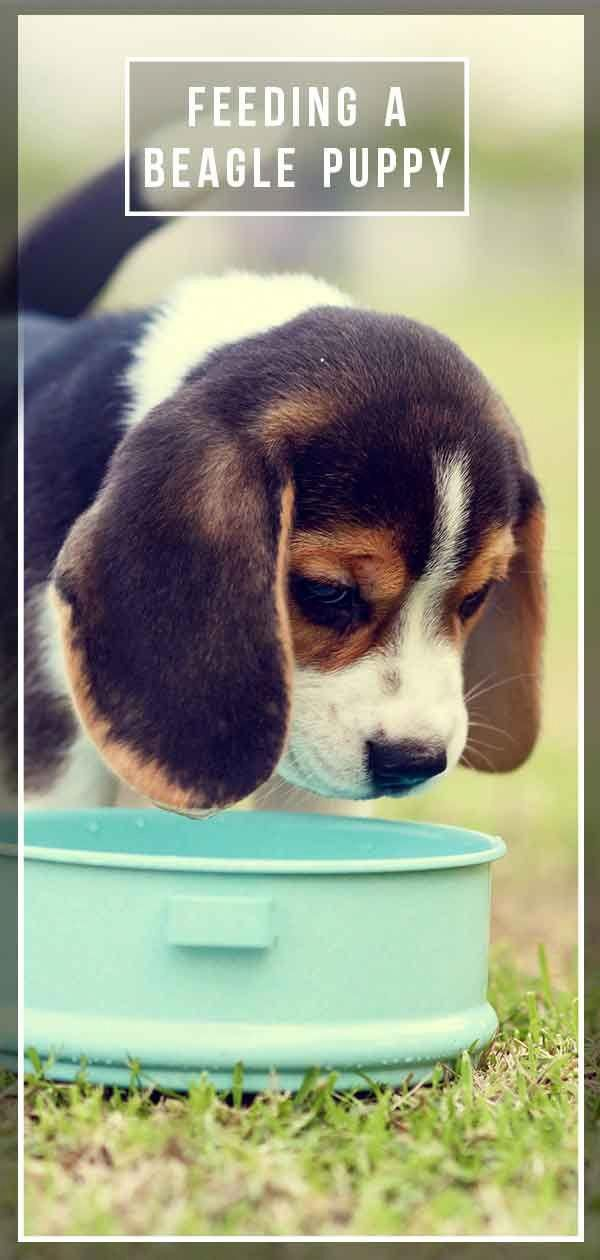 Excellent Beagle Puppies Detail Is Available On Our Internet