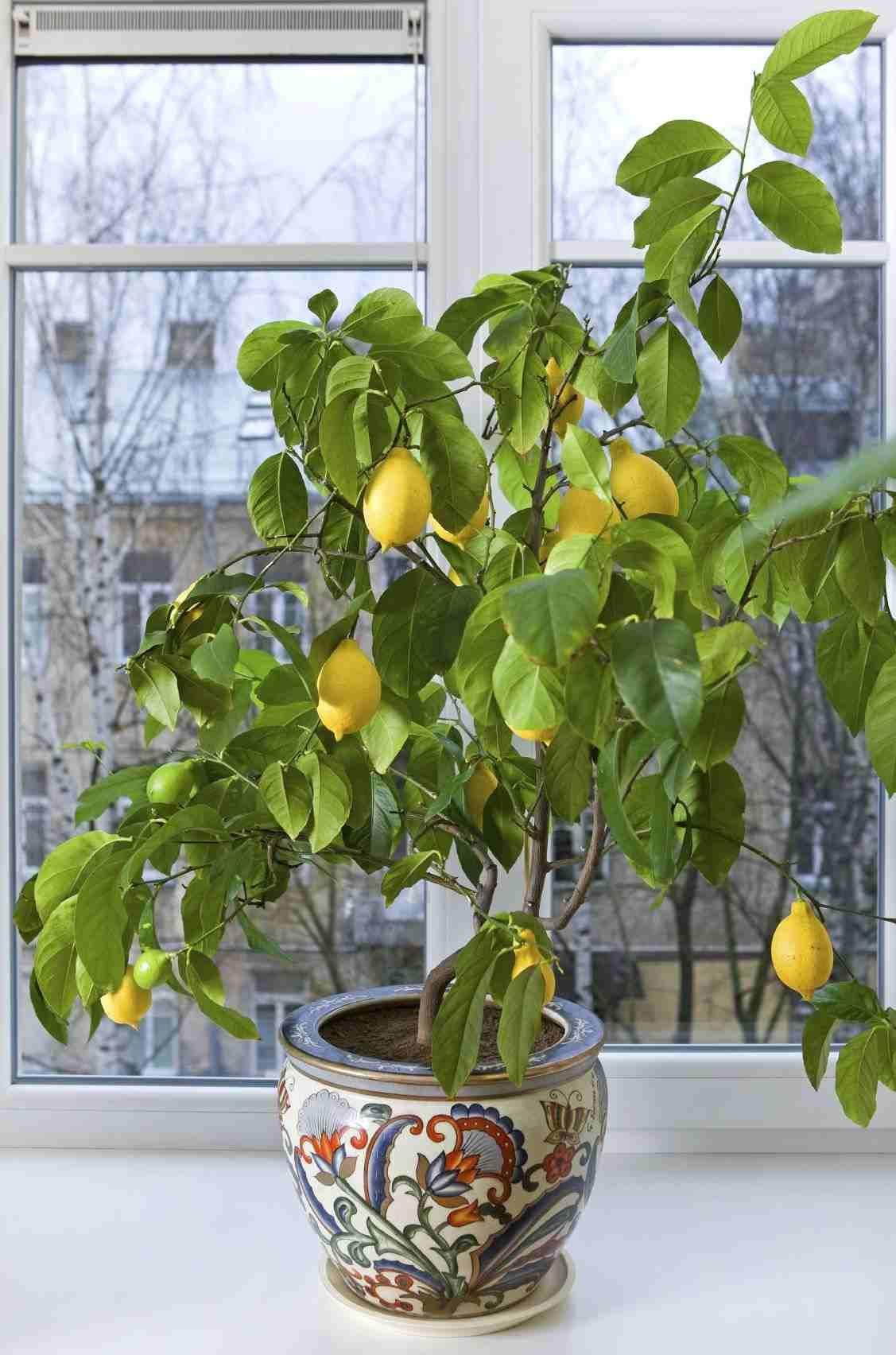 Arbre Fruitier En Pot Interieur fruitier en pot- agrumes et plantes exotiques à la maison