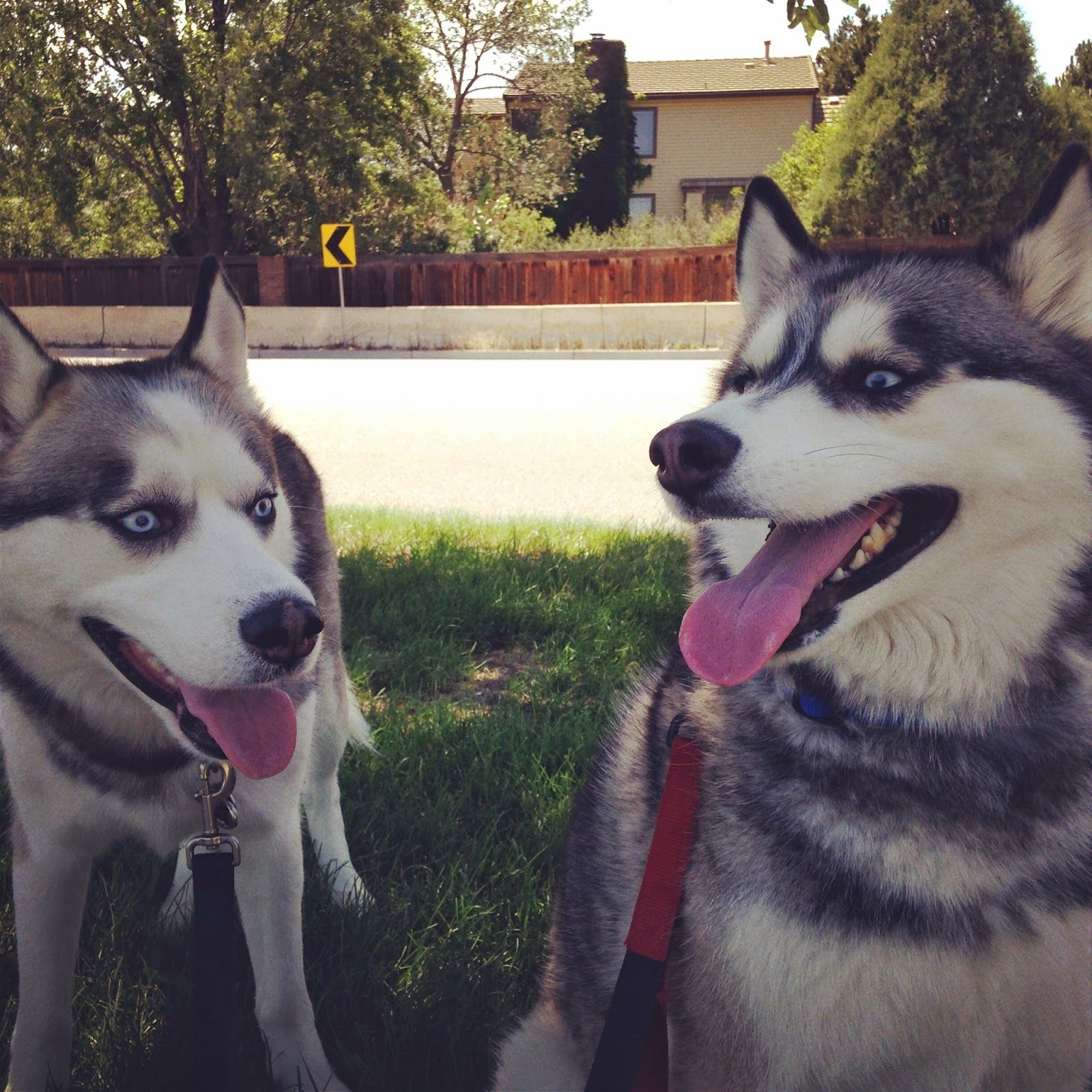 A Tale of Two Huskies Husky, Colorado springs, Colorado