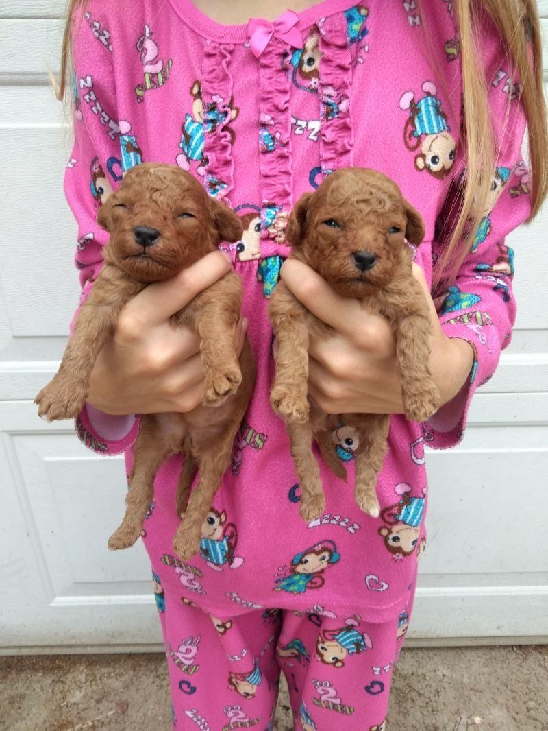 For Sale Illinois Breeder Toy Poodle Puppies Miniature Poodles