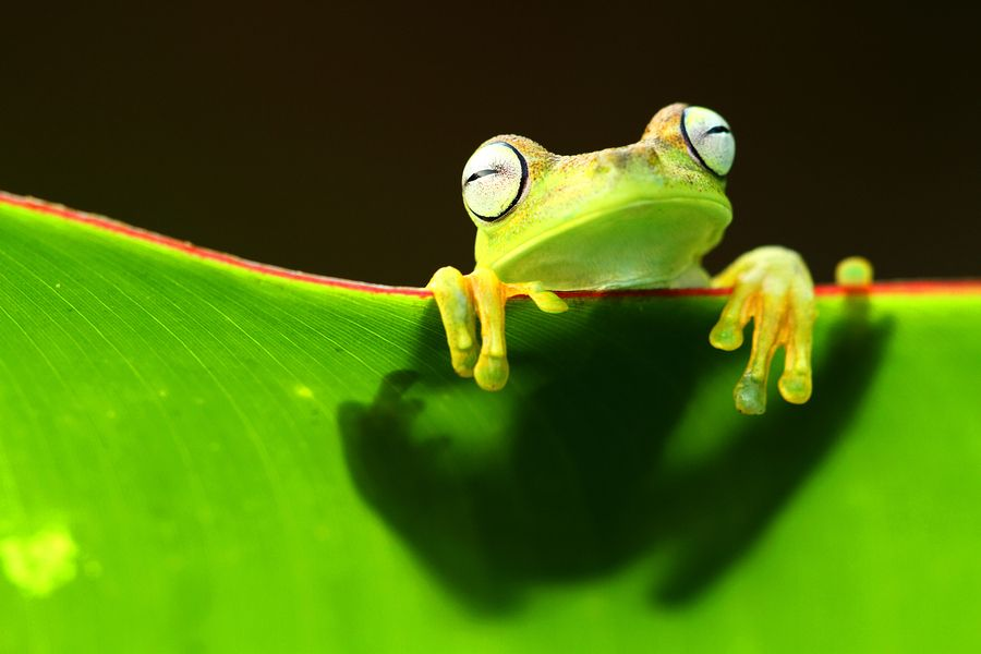 500px / Photo Portret of a tree frog by Jordi Strijdhorst