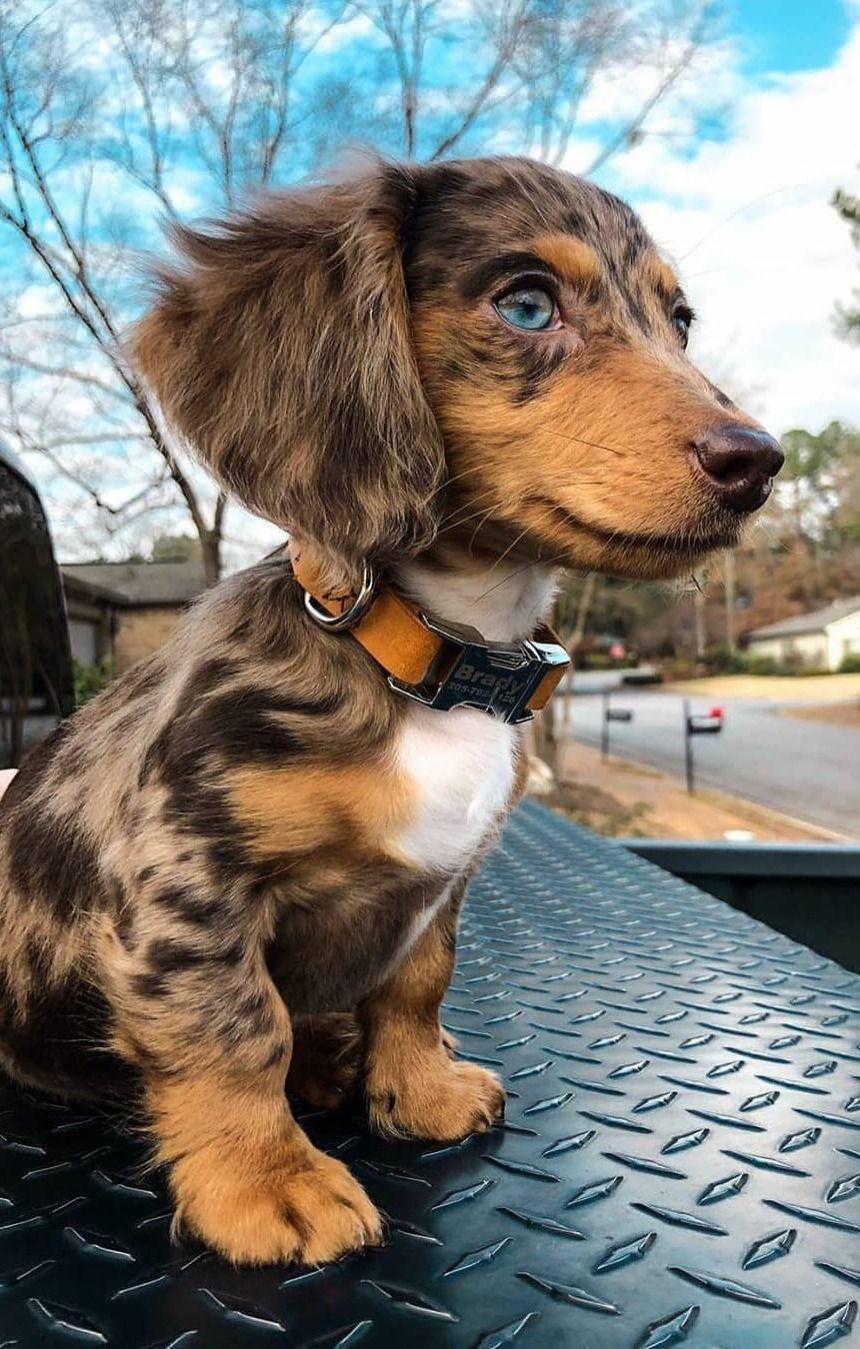 Pin On Cutest Dachshund Dogs