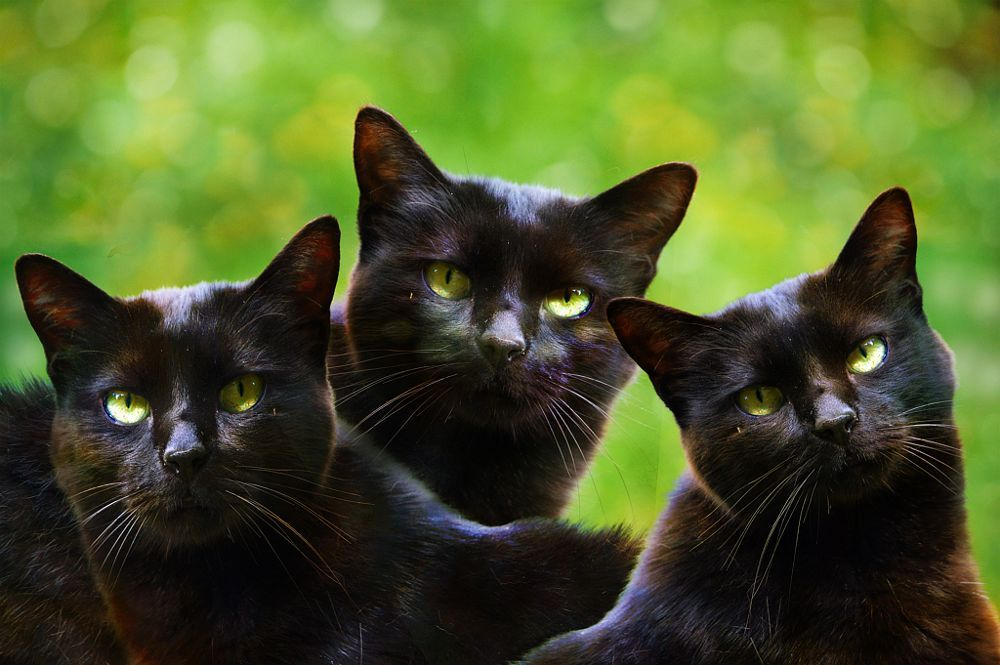 Black cats - three graces by LANA Photography on 500px