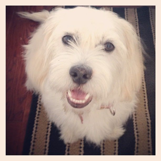 Meet Sweet Bentley Bentley Is A Shih Tzu Bassett Mix He Looks