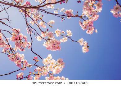 Stock Photo And Image Portfolio By Joshua Small Photographer Shutterstock In 2021 Cherry Blossom Stock Photos Pink Cherry Blossom Tree