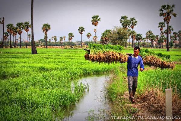 Farmer Thailand ชาวไร ชาวนา ช ว ตชนบท การเด นทาง