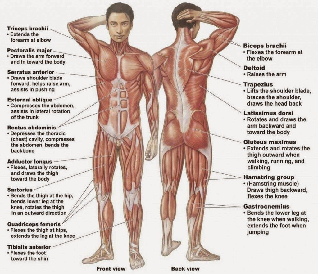 human organs diagram male human organs diagram male male human body organs diagram body organ [ 1024 x 883 Pixel ]