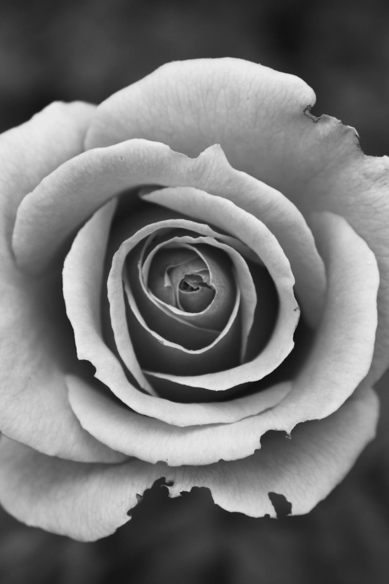 Grayscale Photography of Rose · Free Stock Photo