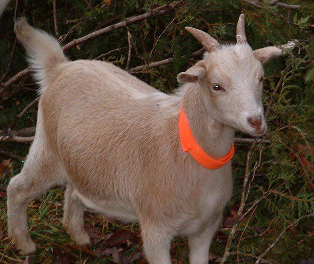 Why Farm Goats Are The Best For Your Homestead