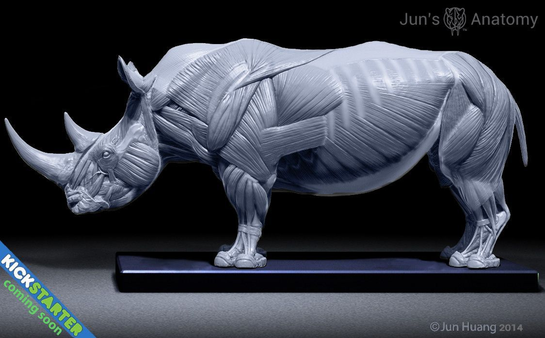 Rhino Anatomy model at 1/16th scale - flesh & superficial muscle ...