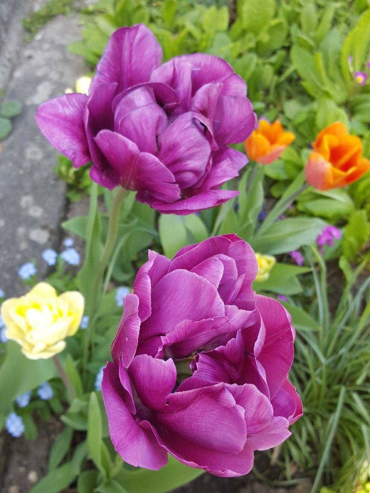 Tulipa \