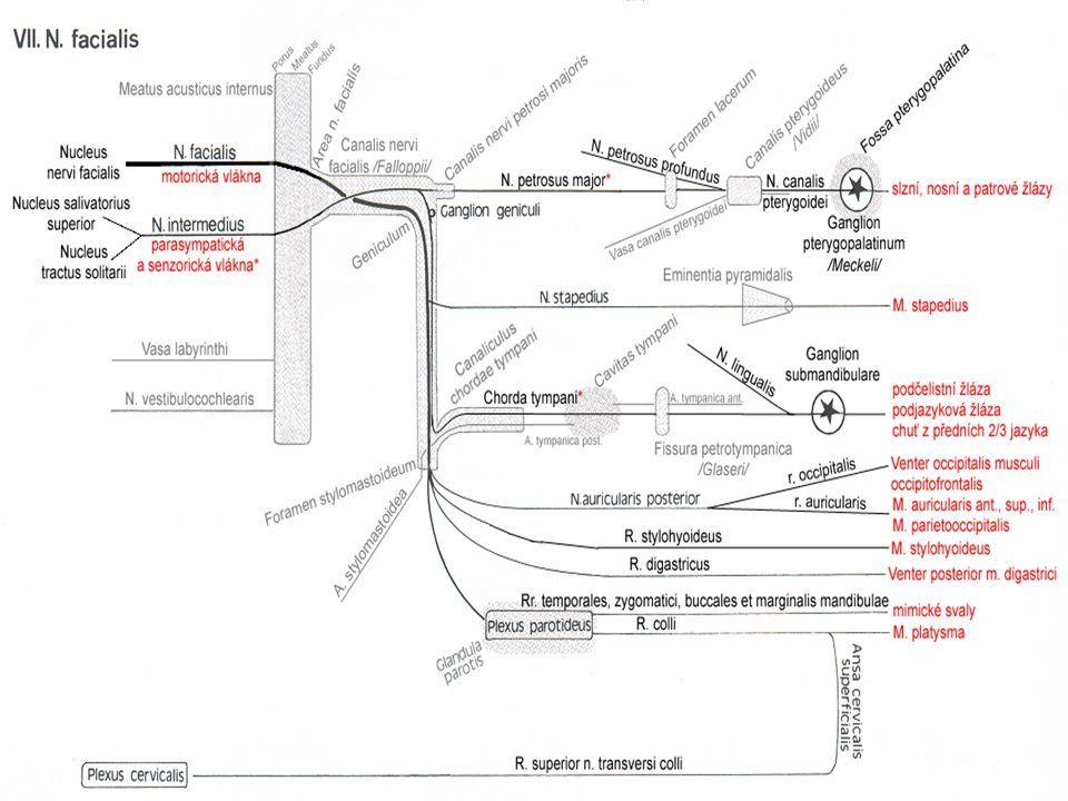 "Attēlu rezultāti vaicājumam ""path of n.vestibulocochlearis ..."