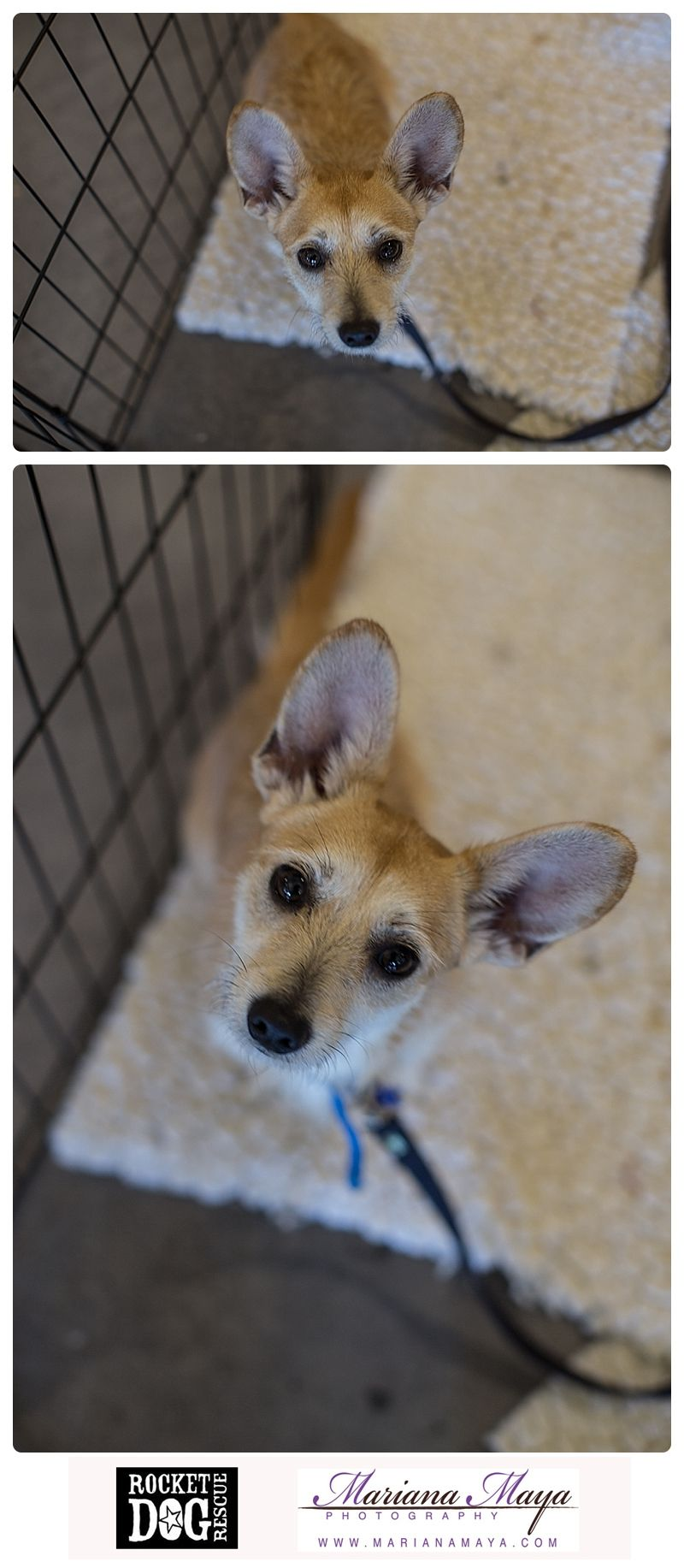 Available For Adoption Through Rocket Dog Rescue In San Francisco Ca Cute Pets Rescue Dogs Cute Animals Dogs