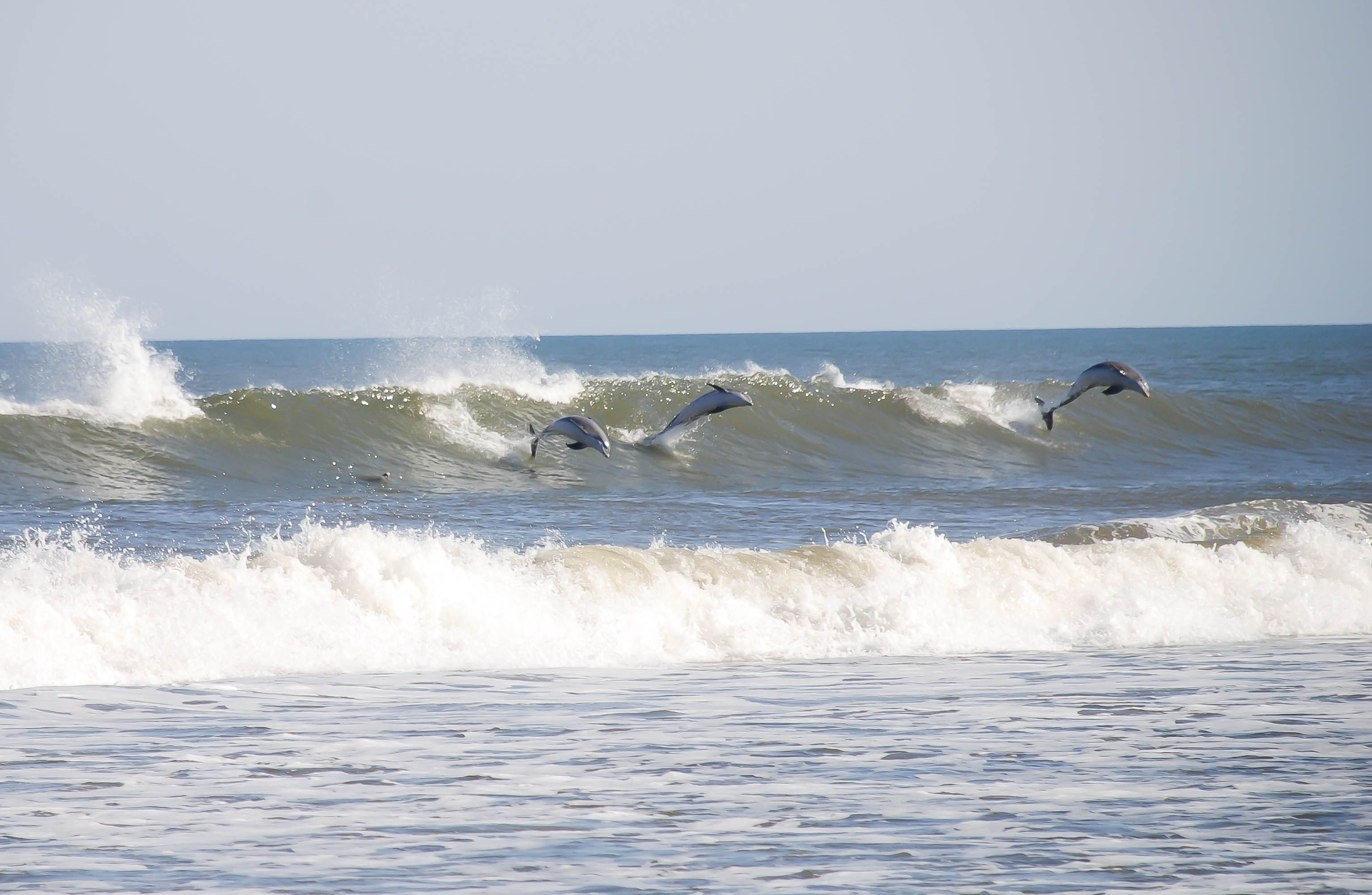 Late October 2012 Dolphins Surfing Laura Casteen Photo Outer Banks Vacation Rentals Outer Banks Vacation Outer Banks