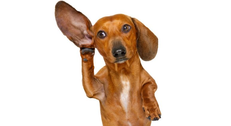Say What Find Out More About Dog Hearing Compared To Humans