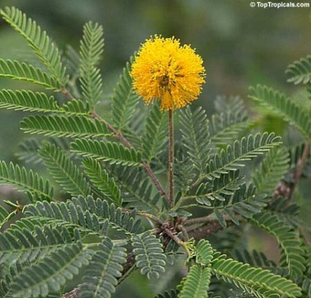 Sweet Acacia Tree With Yellow Flowers Plant Leaves Yellow Flowers