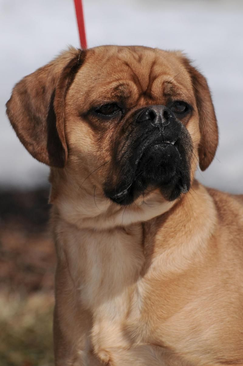 Adopt Chester8/15/15 on (With images) Boxer dogs, Pug