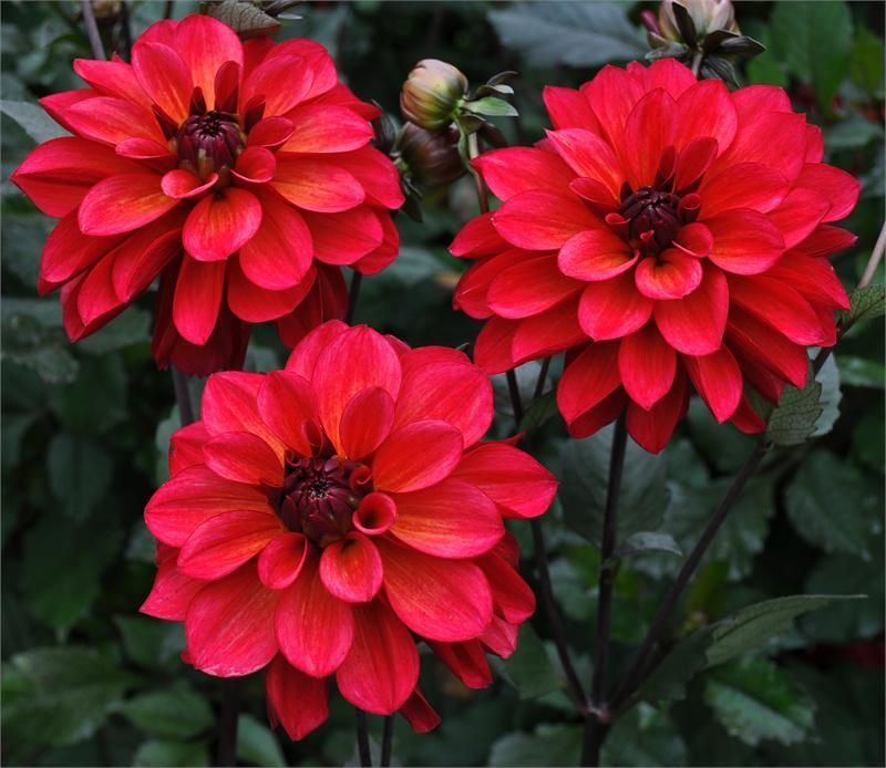 Groovy item 609 dahlias easy care beautiful plants all different types like morning sun for How much sun does a garden need
