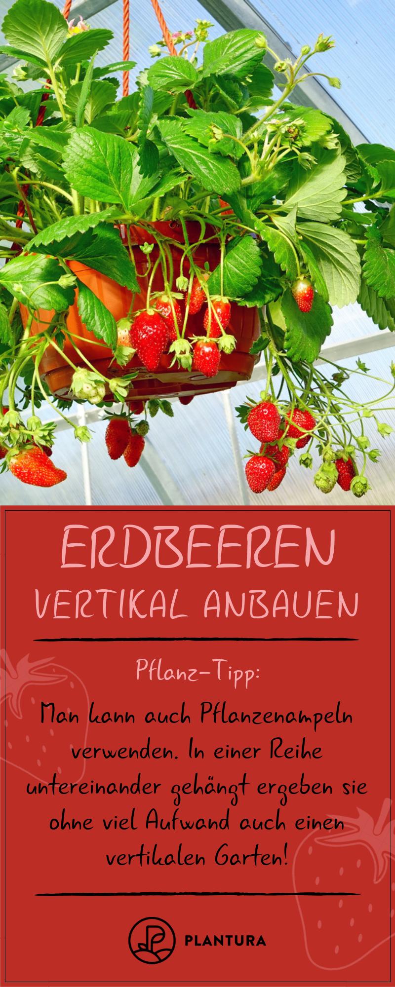 Erdbeeren vertikal anbauen: Anleitung & Tipps zum Nachmachen - Plantura