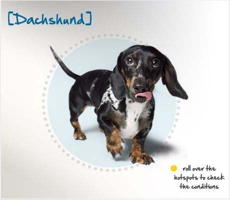 Did You Know That Dachshund Means Badger Dog In German And They