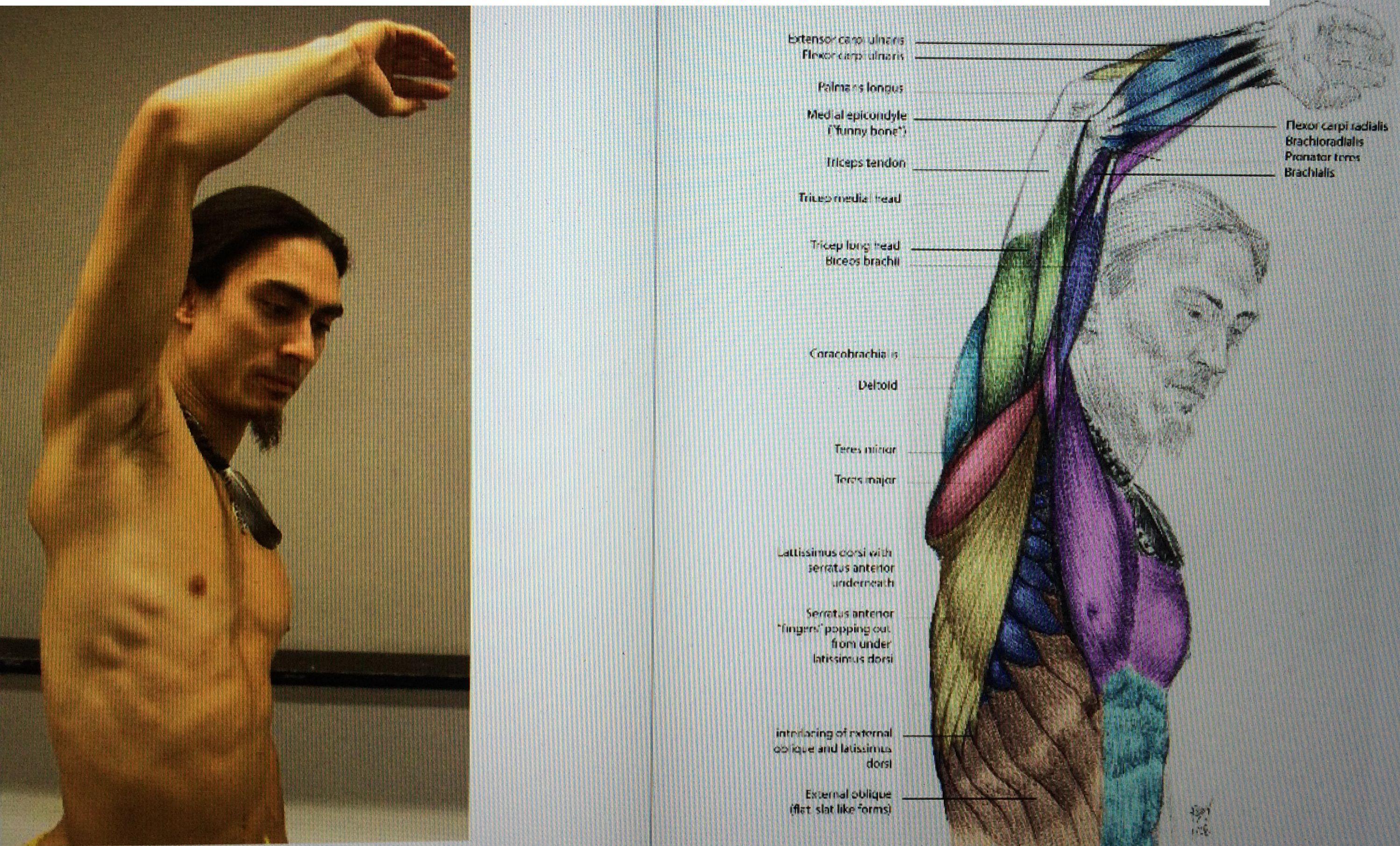 anatomy: raised arm, armpit #MuscleAnatomy   Muscle Anatomy ...