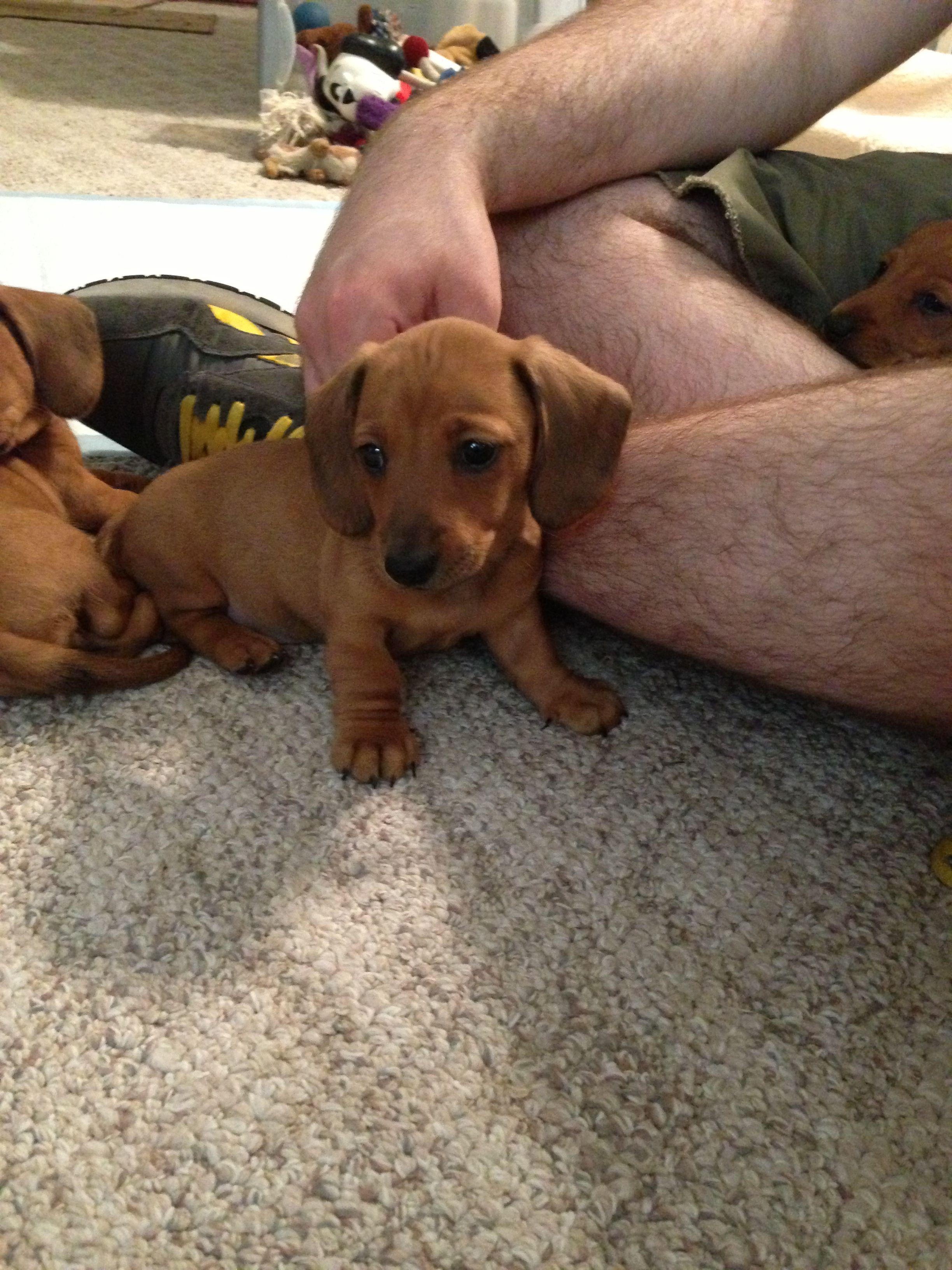 Dachshund Friendly And Curious Dachshund Puppies Puppies