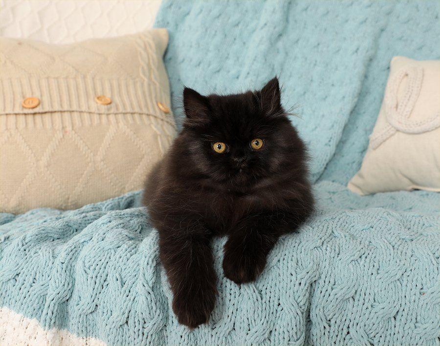 Persian Kittens For Sale Little Black Bear In 2020 Persian Kittens For Sale Persian Kittens Kitten For Sale
