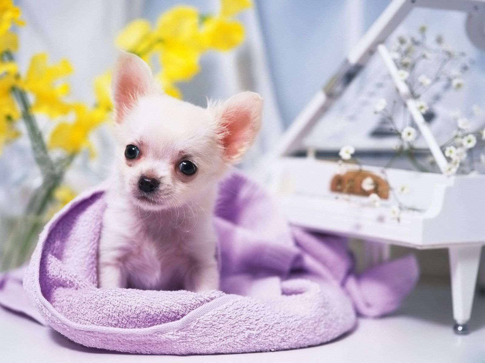 Chihuahua All Small Dogs Wallpaper 14929827 Fanpop Fanclubs Chihuahua Puppies Cute Chihuahua Cute Dog Photos