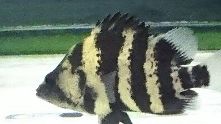 長崎店の情報です 久々入荷のニューギニアダトニオ 15 程あり育てやすいです キンペコ 綺麗な個体が5匹程います トゲチョウ ナイスサイズ その他いろいろと入荷しています ご来店お待ちしております 熱帯魚 アクアペット 大型魚 海水魚 プレコ サンゴ