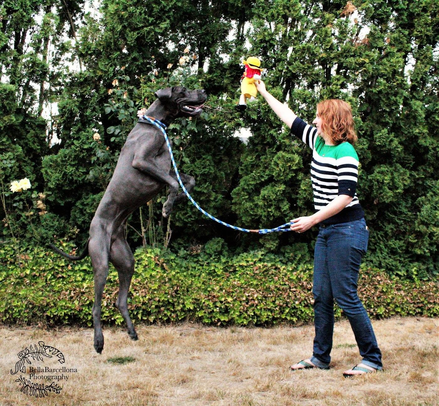 This Is How Tall A Great Dane Is When They Stand Up By Bella