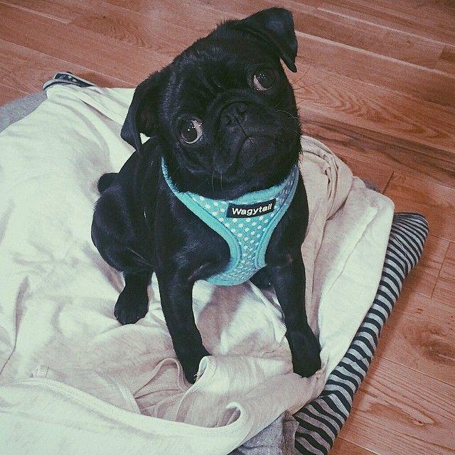Zoella S Dog Nala Is Sooooo Cute Pugs Baby Pugs Cute Pugs