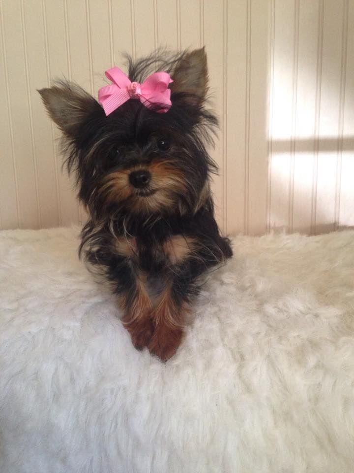 T Cup Yorkie Female Available Yorkie Yorkie Puppy For Sale Yorkie Puppy