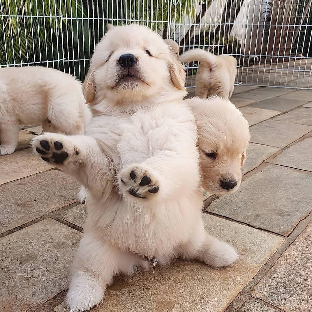 Pin By Liza Johnson On Goldens Cute Baby Animals Cute Animals