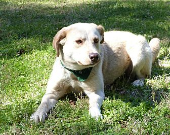 Labrador Retriever Mix Dog For Adoption In Mocksville North Carolina Cleo Labrador Retriever Animals Beautiful Pet Adoption