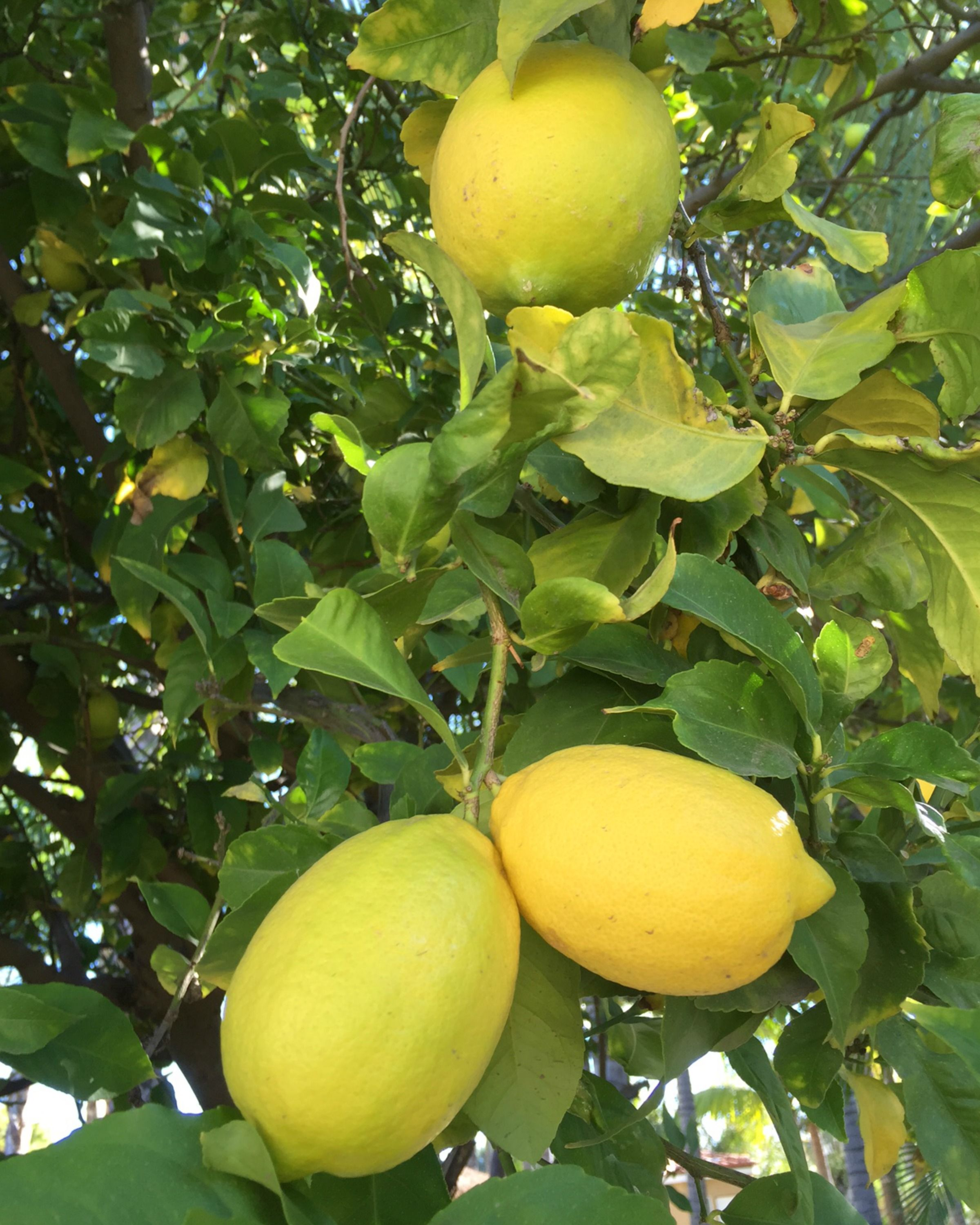Lemon Tree Get Your Today But Remember That There Are Many Types Of Lemon Trees Decide Where You Will Be Keep Citrus Plant Lemon Tree Plants Growing Citrus