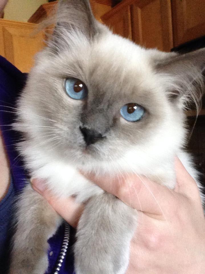 Gracie Such A Pretty Girl Blue Point Mitted Ragdoll Kitten Siamese Cats Blue Point Ragdoll Cat Ragdoll Kitten