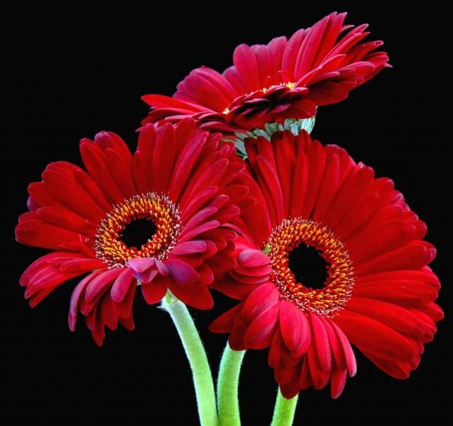 Red Daisy These With Sky Blue Daisy Flower Pictures Daisy Daisy Flower
