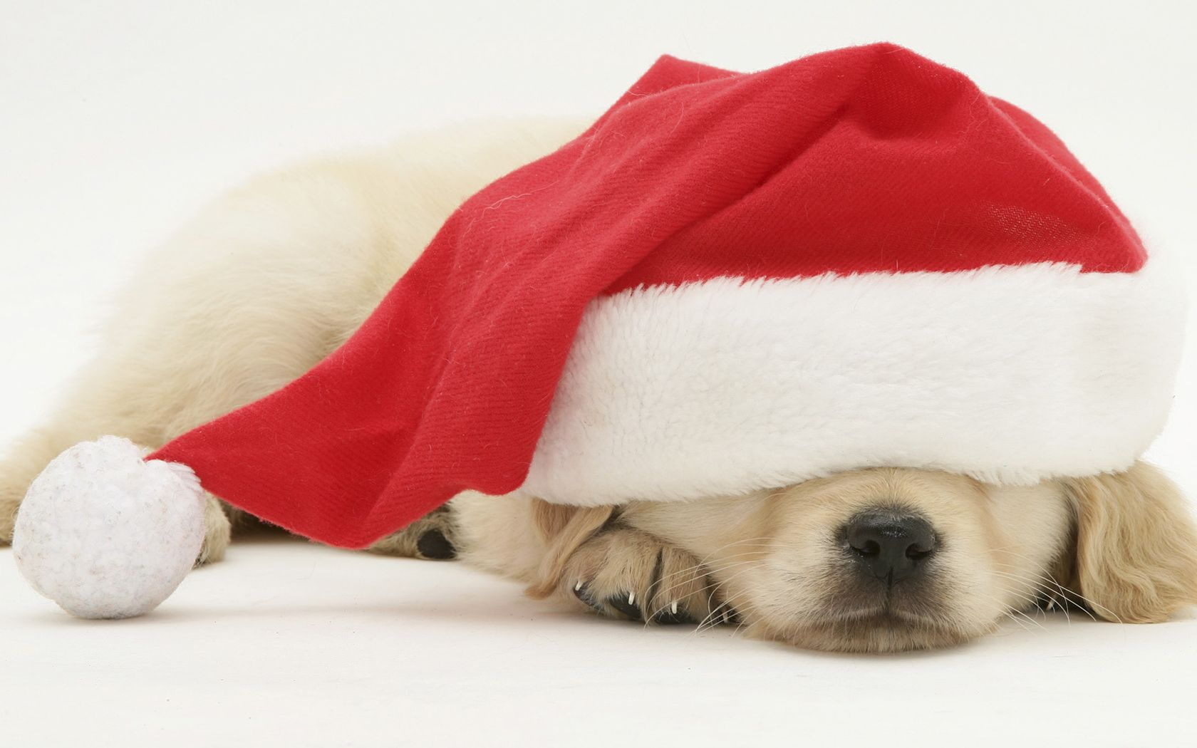 Christmas puppy sleeping in a Santa hat Christmas puppy